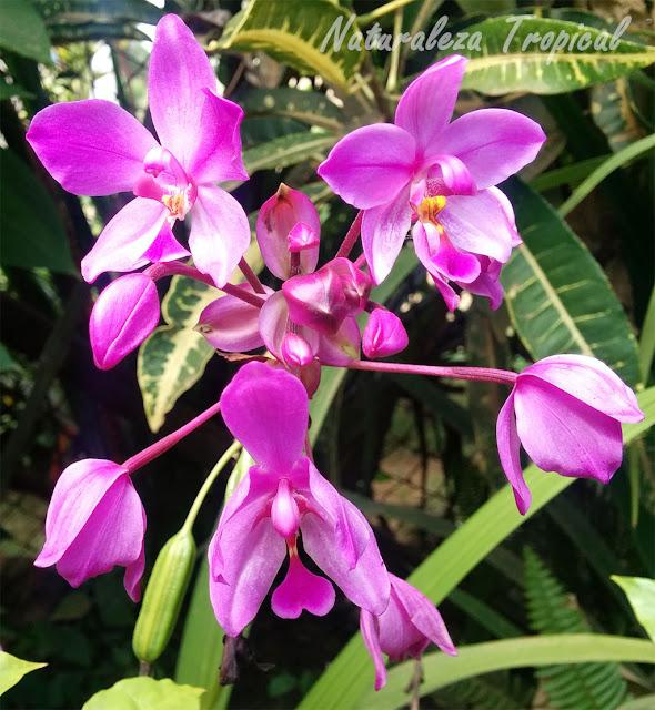 Flor de orquídea Spathoglottis sp