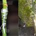 Pembiakan Vegetatif dengan Sambung (Grafting)