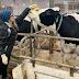 Ένα νέο θεραπευτικό ζώο βοηθάει τους φοιτητές...