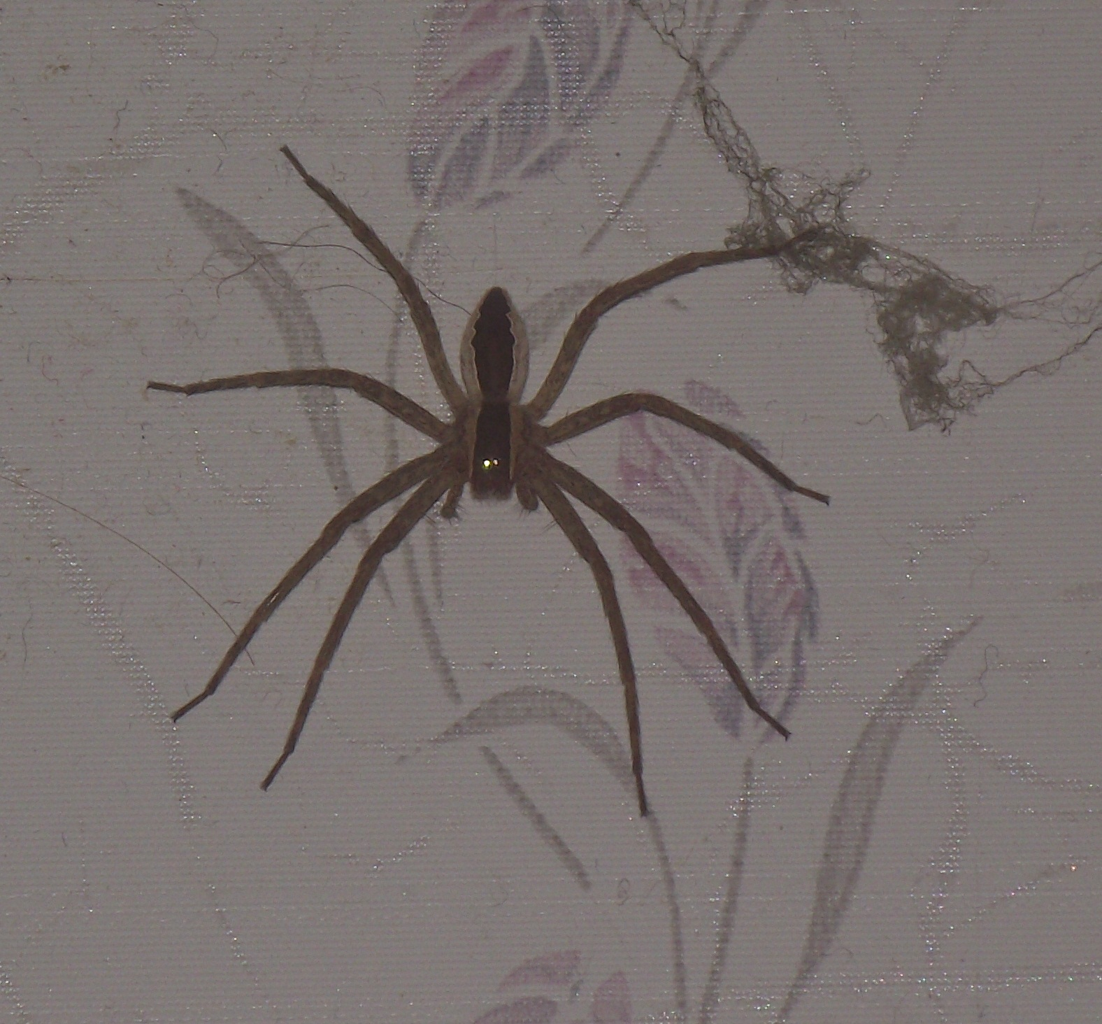 Submitted pics nursery web spiders michigan spiders for Fishing spider michigan