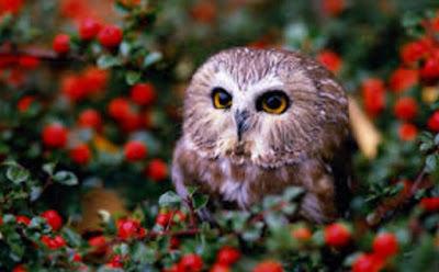 Gambar Fauna Burung Hantu Wallpaper HD