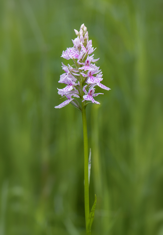Heath Spotted Orchid - Dactylorhiza maculata, Nikon D4 with Nikkor 105mm F2.8 macro lens