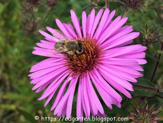 Biene auf Herbstaster in lila