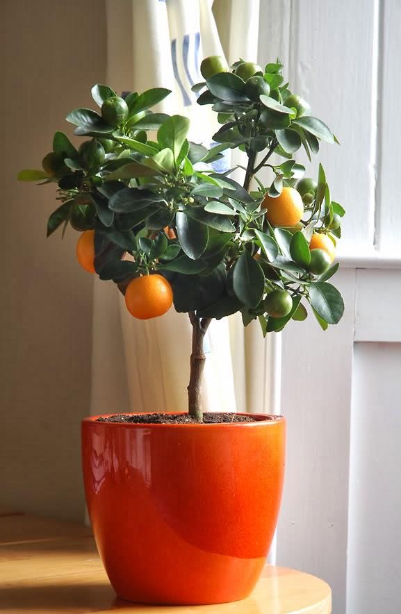 Arvores Frutiferas - Venda de Arvores Frutiferas : Arvores