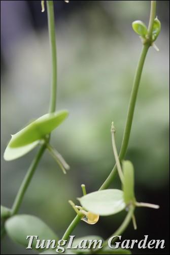 vườn mưa, xương rồng, cẩm cù, hoa cẩm cù, hoa treo, cây rủ, huệ mưa