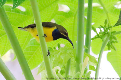Olive backed Sunbird near papaya leaves and flowers