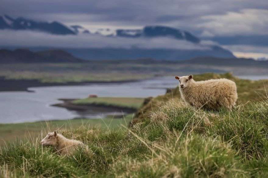 Photographed wild sheep in Iceland - We Visited Over 50 Countries With Our Van Spending Only $8 A Day