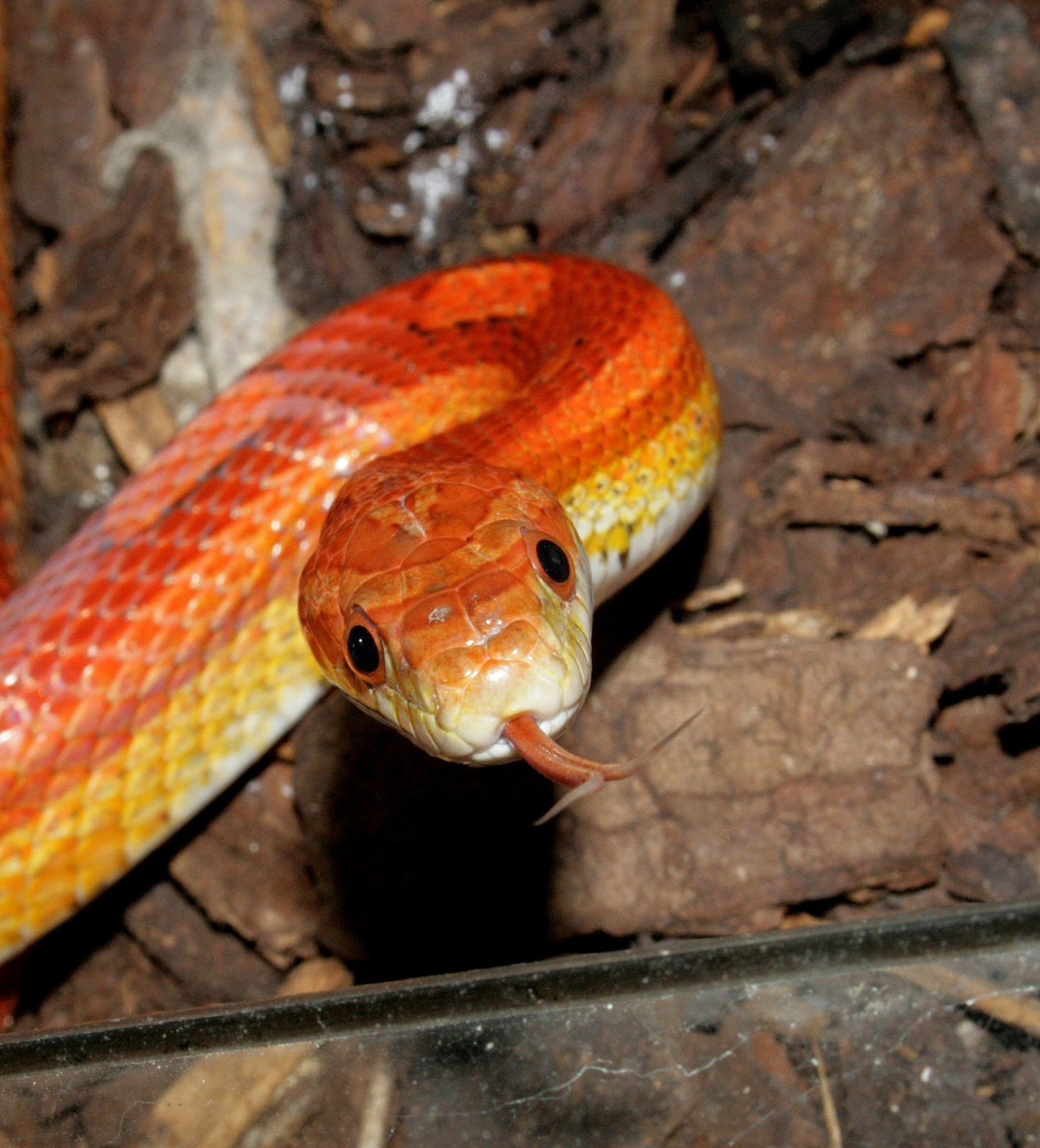 Picture of a jungle corn snake.