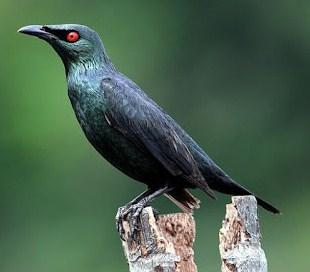 Mengenal Dekat Dan Ciri Ciri Burung Cucak Keling Di Lihat Dari Segi Fisiknya