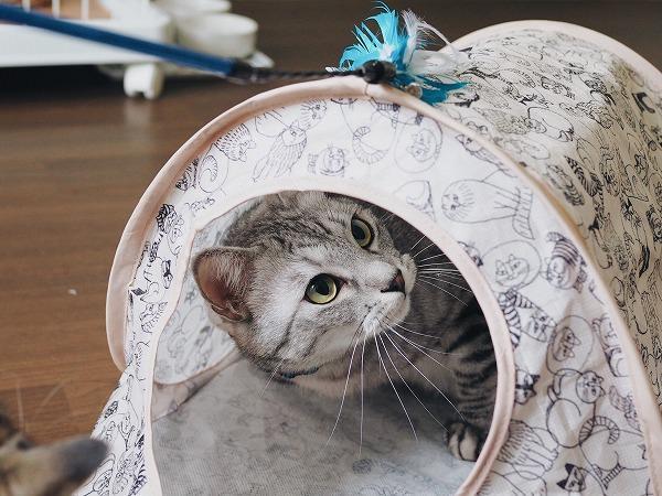 テントの上で猫じゃらしを動かしてみる