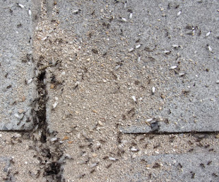 flying ant day colony swarming from hole in pavement