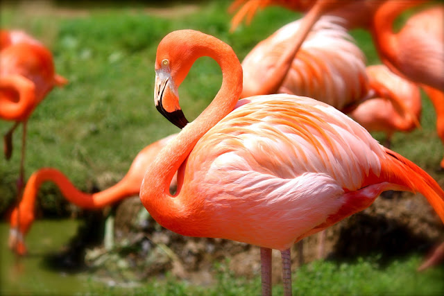 Orange Flamingo Wildlife HD Wallpaper