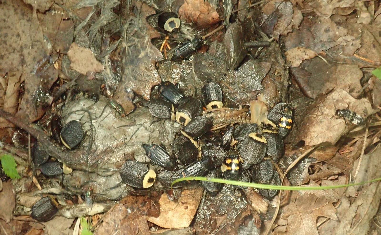 Springfield Plateau A Beetle Moves A Mouse