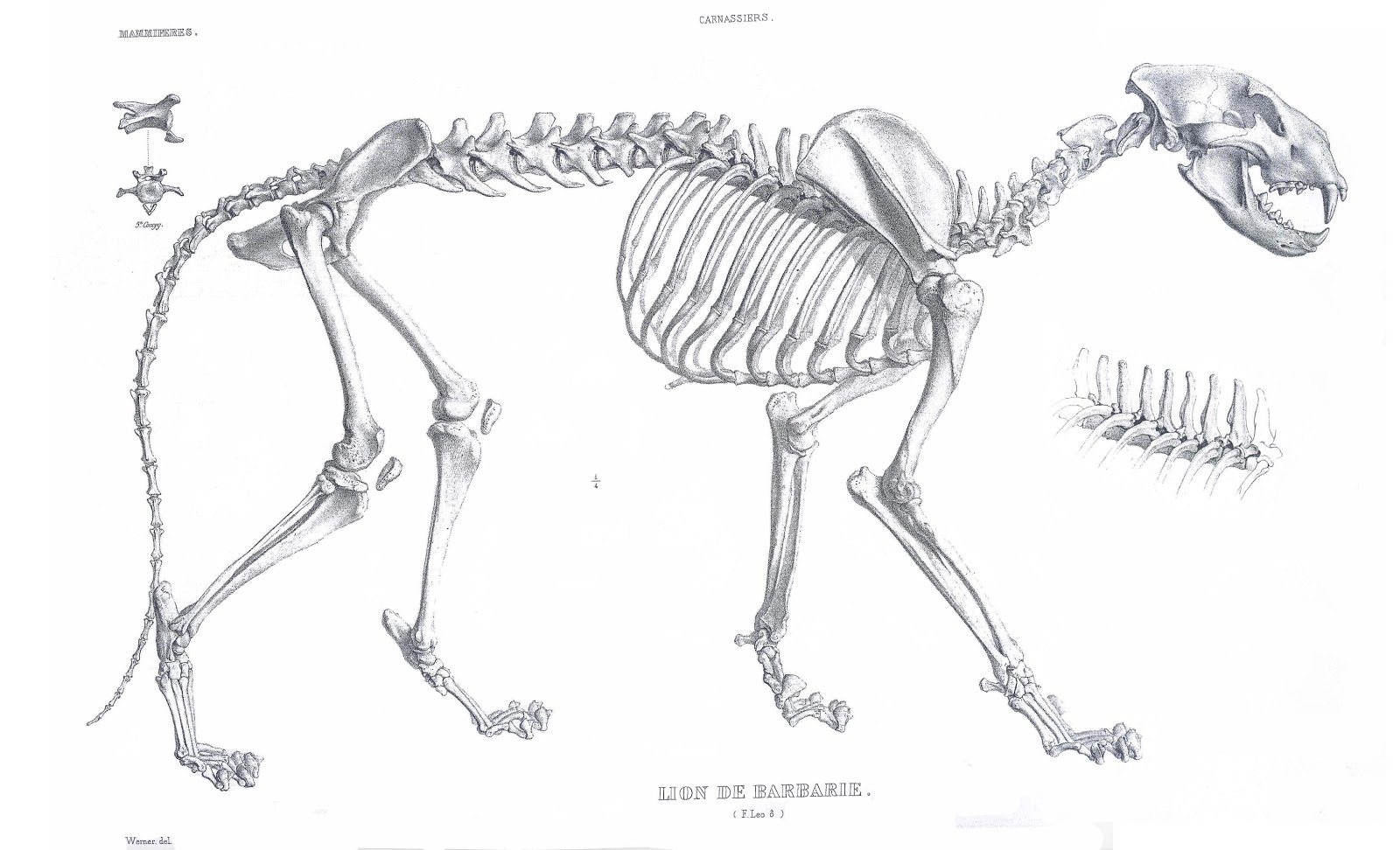 Lion Skull Diagram