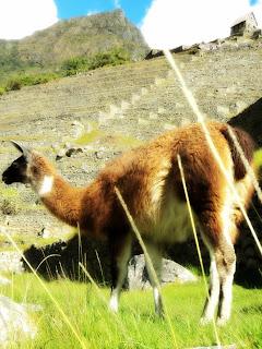 Lhama, Terraços Agrícolas, Cabana  do Guardião e Apu Machu Picchu