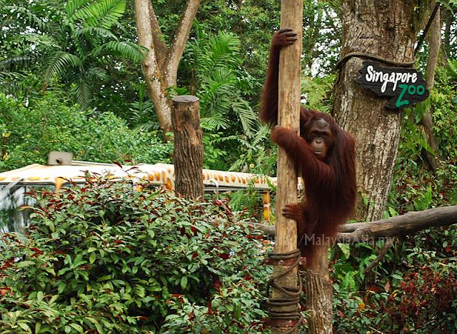 Singapore Zoo Orang Utan