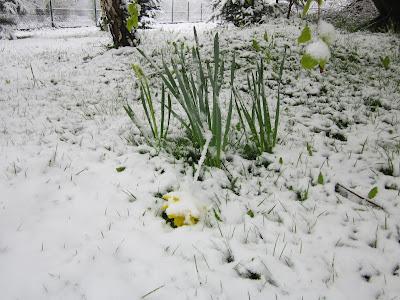 żonkil w śniegu