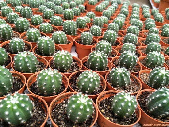 Cactus Cameron Highlands Pahang, Malaysia