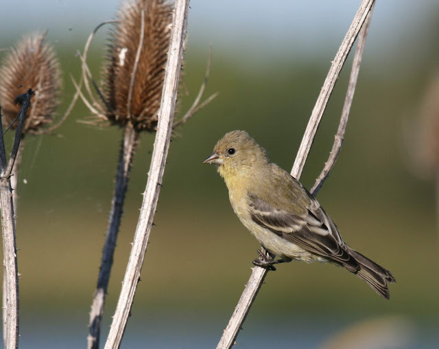 San Diego, California Backyard bird: Lesser Goldfinch
