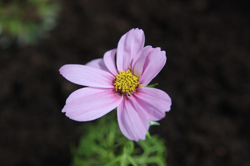 Frisch eingesetzte Blume im Beet