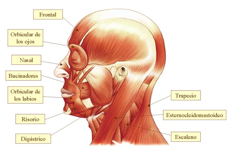 partes de los musculos del cuello