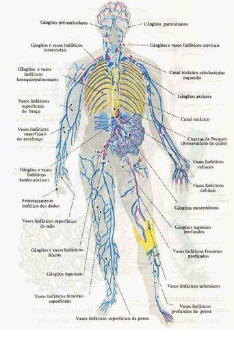 Ubicacion de ganglios en las piernas