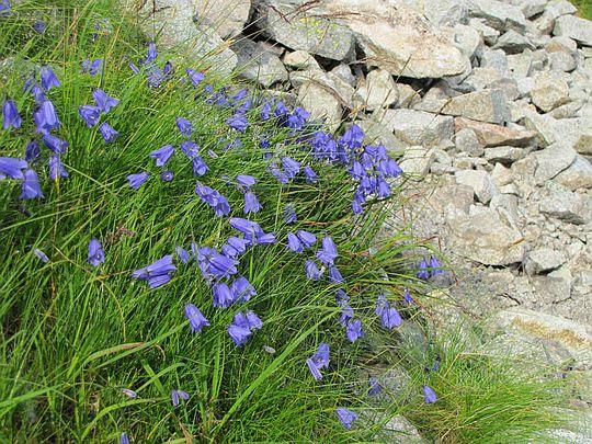 Dzwonki drobne (Campanula cochleariifolia Lam.).