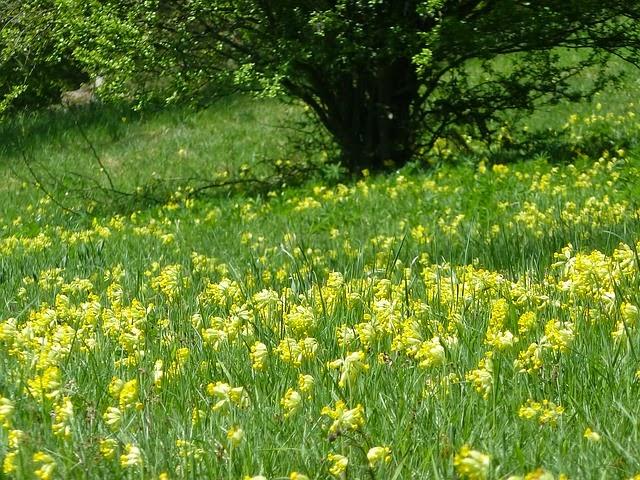 Spring flowering perennial Cowslip