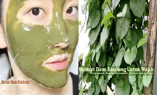 Selama ini belum banyak orang yang mengetahui tentang manfaat daun binahong untuk wajah. Simak uraian lebih lanjut tentang khasiatnya diartikel ini.