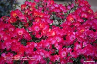 小さな赤い薔薇の写真