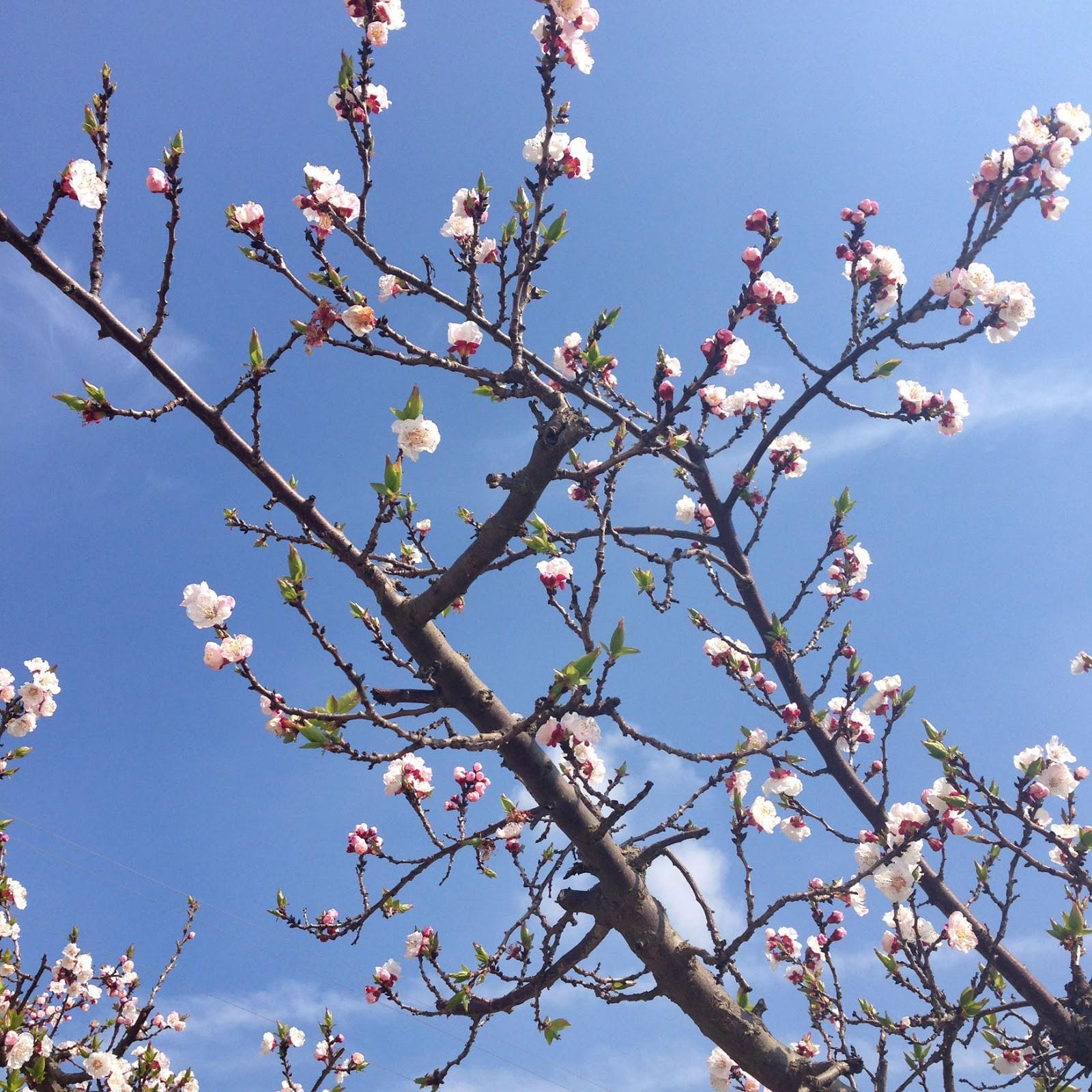 Branche Fleur De Coton la route des arbres fruitiers en fleurs
