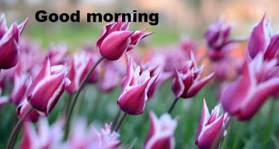 Romantic good morning images with flowers - tulip images free download