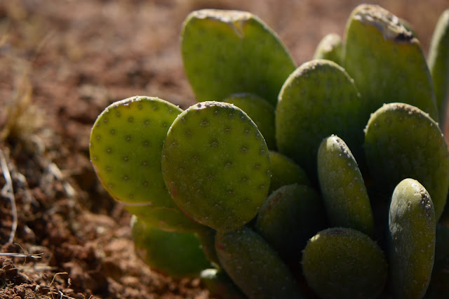 Opuntia ficus-indica, burbanks spineless, cactus, prickly pear, photography, amy myers, desert garden, small sunny garden