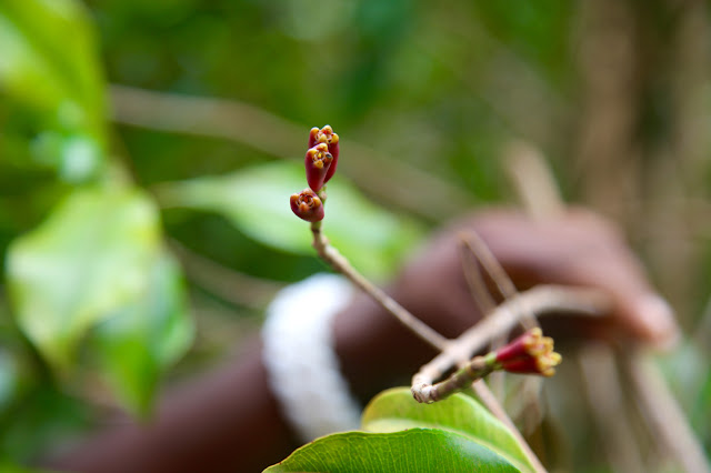 clove plant grenada