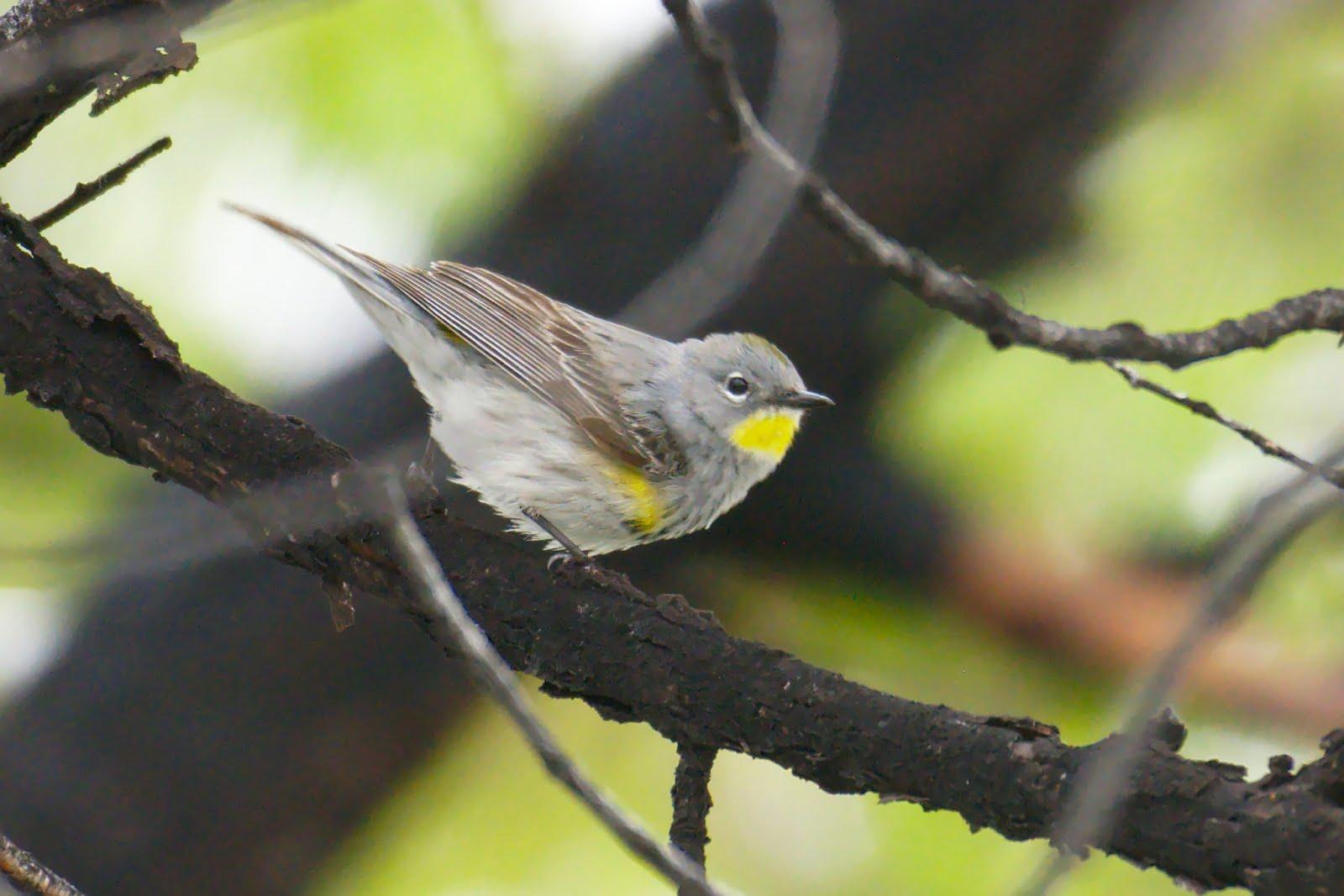 cobirds colorado rare bird: [cobirds] Yellow-rumped (hybrid