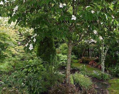 Blomsterkornell Cornus kousa