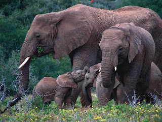 Beautiful dangerous wild animals pets of Africa: Elephant Game