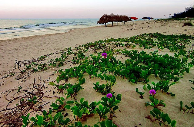 Muống Biển trên bờ biển Quảng Bình - Ipomoea biloba - Nguyên liệu làm thuốc Chữa Cảm Sốt