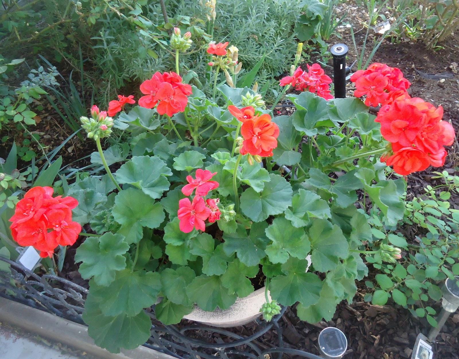 Dead Snapdragon Flowers Myth