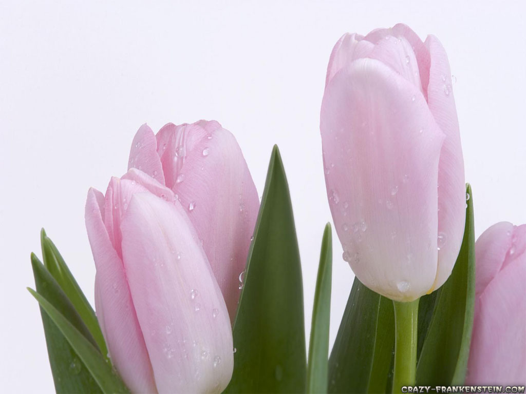 Flowers & Planets: Tulip Flower Wallpapers