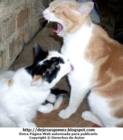 Gatos (Un gato lamiendo y otro bostezando). Foto de gatos de Jesus Gómez
