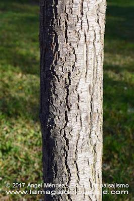 Pyrus calleryana, peral de Callery, árboles de flor