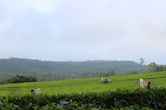 Tea pickers hard at work in the plantation - Satemwa Tea Estate, Malawi