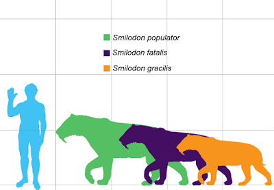 Illustration showing relative sizes of three Smilodon species and a human.
