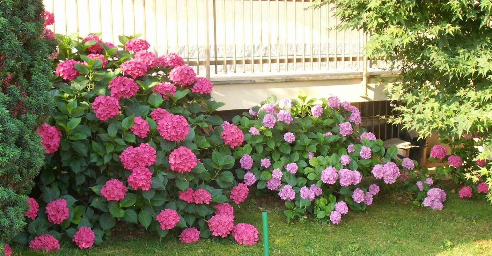 Come Far Fiorire Le Ortensie giardinaggio laura ponte in valtellina: ortensia