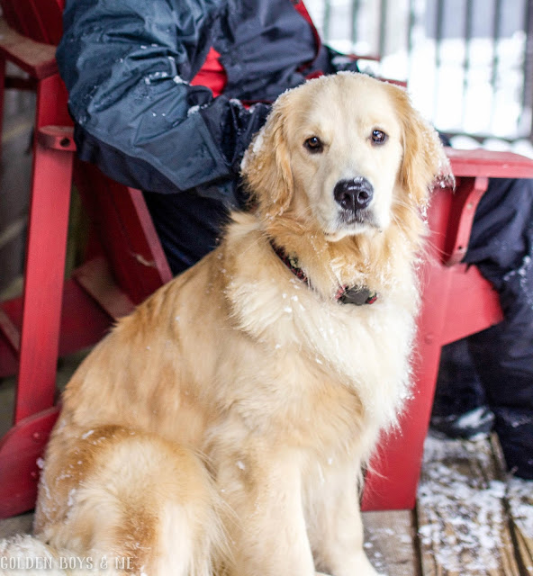 Golden Retriever on porch in winter