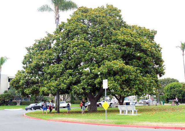 ilginç büyüklükte manolya ağacı