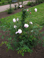 roses photo flower image prado uruguay rosedal