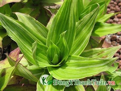 chữa trị bệnh đau lưng bằng cây lược vàng