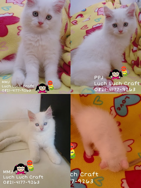 jual beli kucing persia medium white red point surabaya-sidoarjo